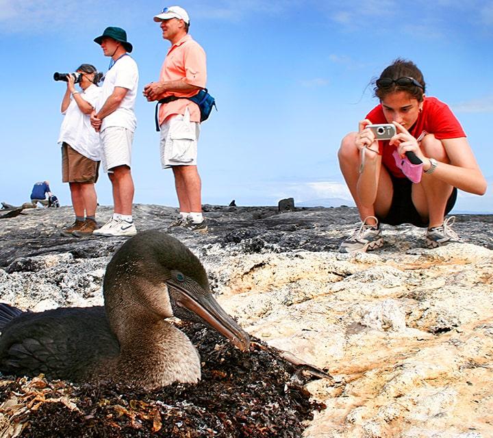 Traveler taking photo of a Flightless Cormorant protecting its nest on land