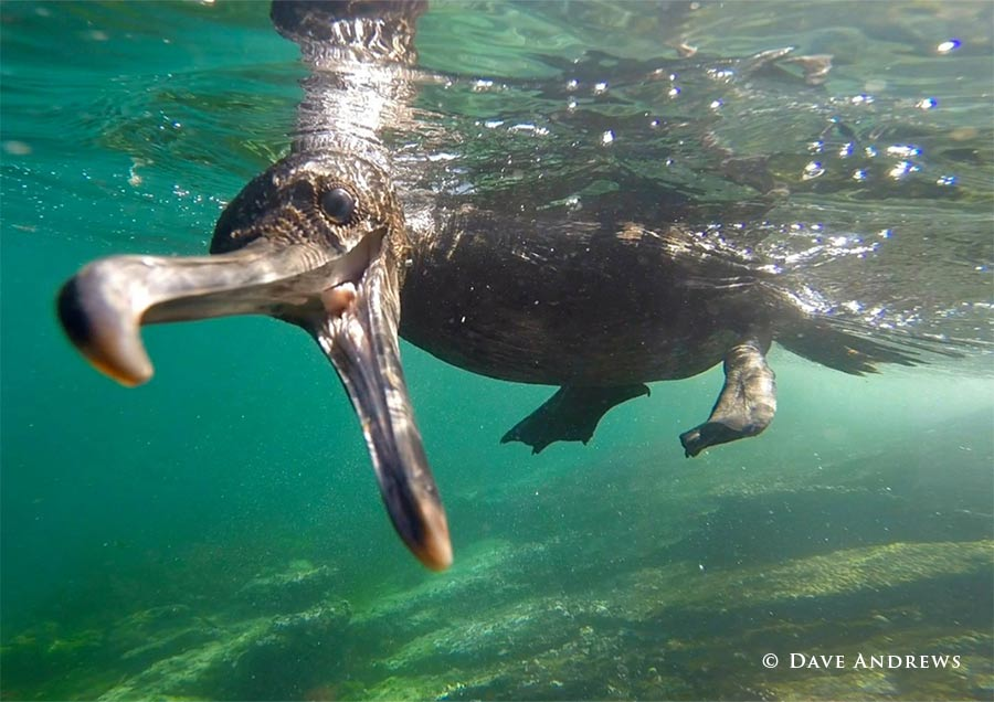 Galapagos Flightless Cormorant © Dave Andrews
