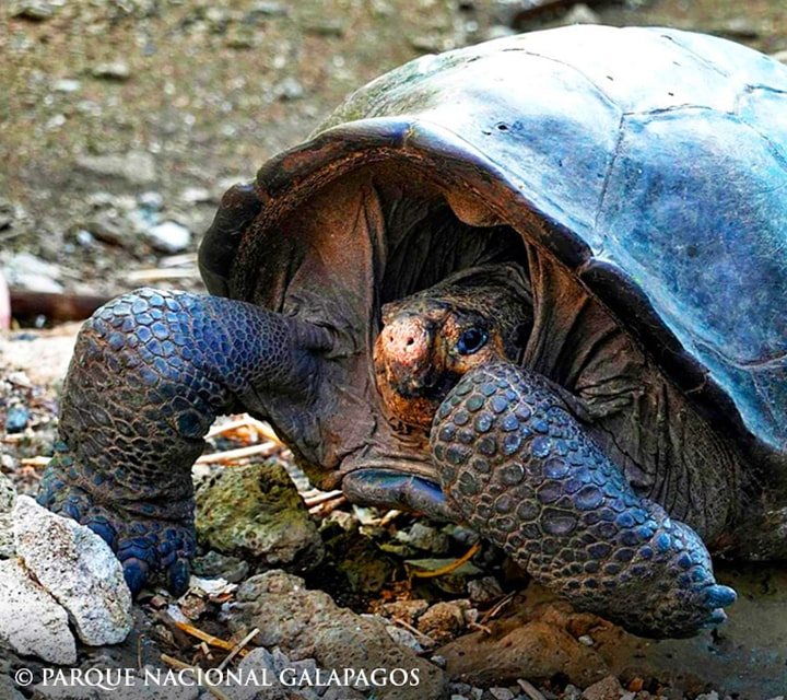 Giant Tortoise tucked inside its shell, photo by Parque Nacional Galapagos