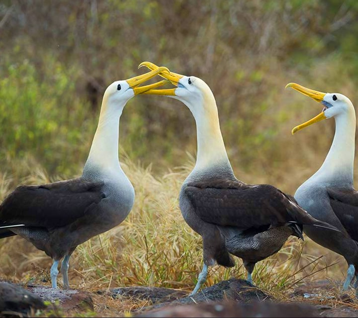 Charismatic Waved Albatrosses going beak to beak during a battle of courtship in the Galapagos Islands