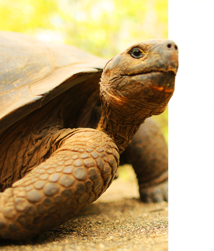 Young Galapagos Tortoise with neck extended, Galapagos Islands