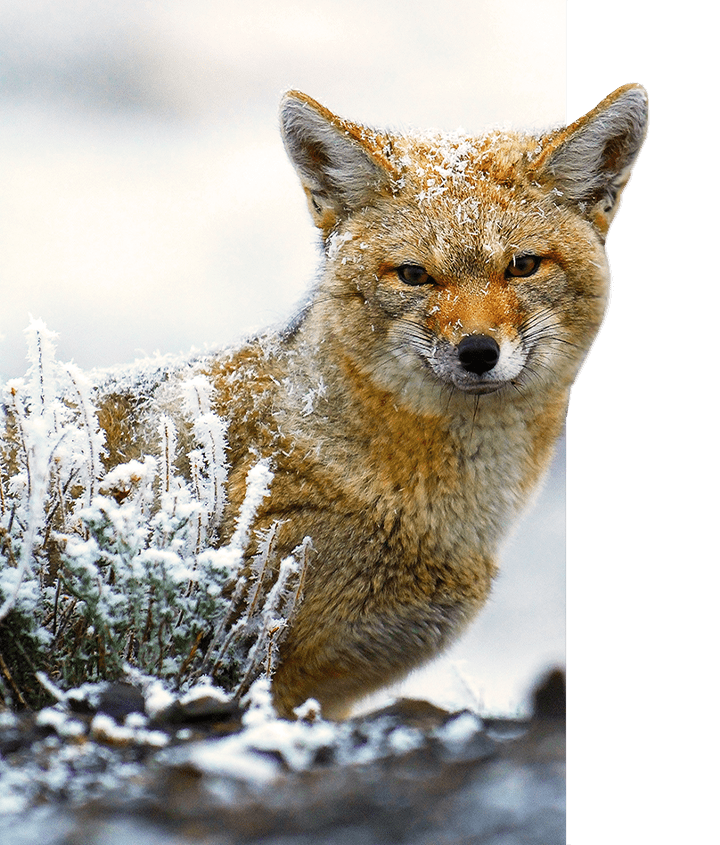 A Culpeo fox spotted during the winter in Patagonia on a Guided Wildlife Safari