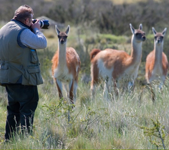 Photographer standing close to a herd of guanacos in Patagonia