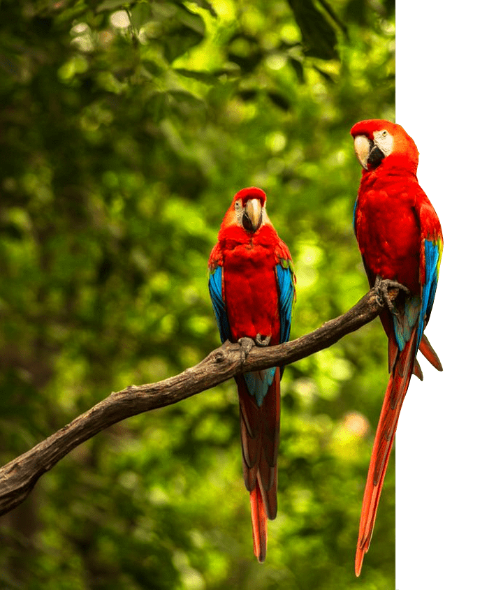 Close-up of a Scarlet Macaw, also called a red macaw, in the rainforest of mainland Ecuador