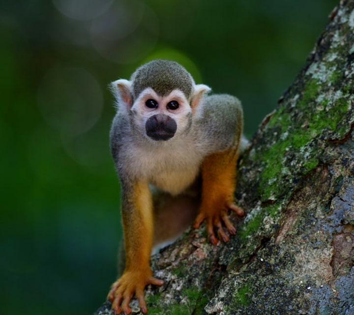 Squirrel Monkey in mainland Ecuador, posing for the camera