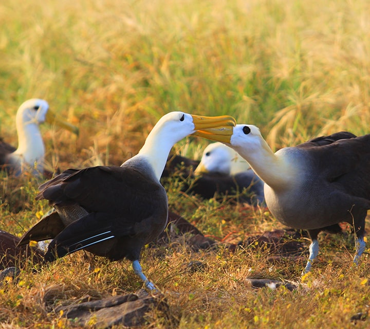 Waved Albatrosses doing their ritual mating dance in the Galapagos Islands