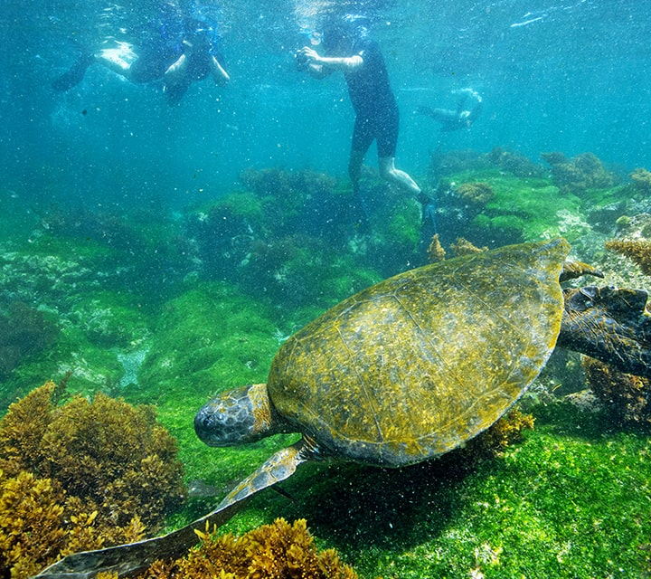 Green Sea Turtle and Sea Lion surround snorkelers in the shallow waters of the Galapagos Islands