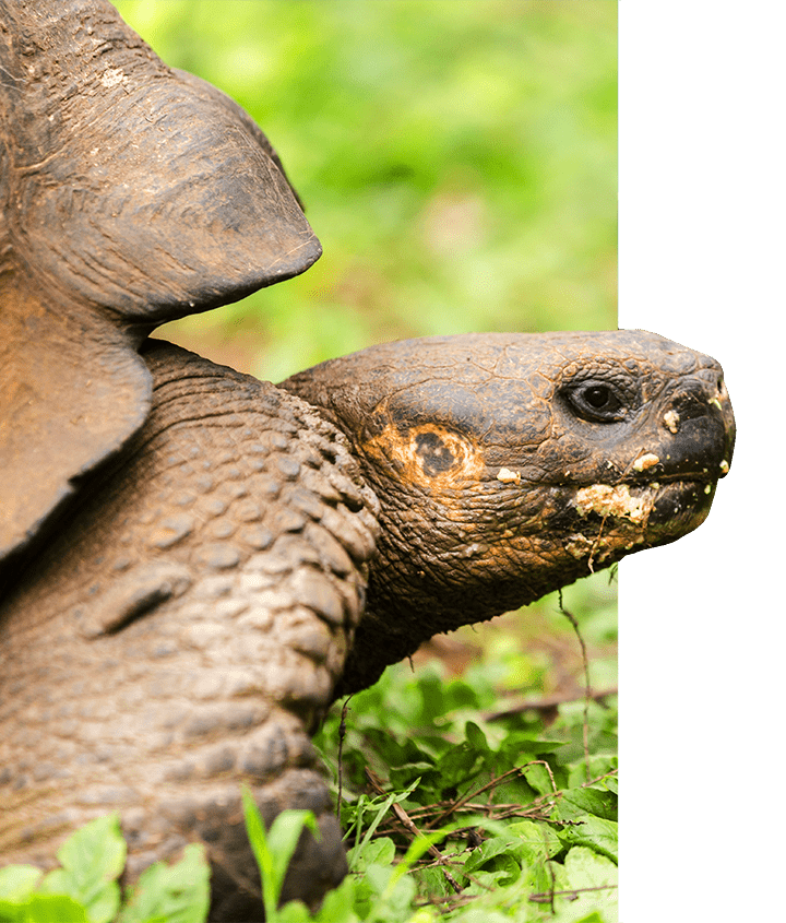 A close-up of a Giant Tortoise inhabiting the Galapagos Islands