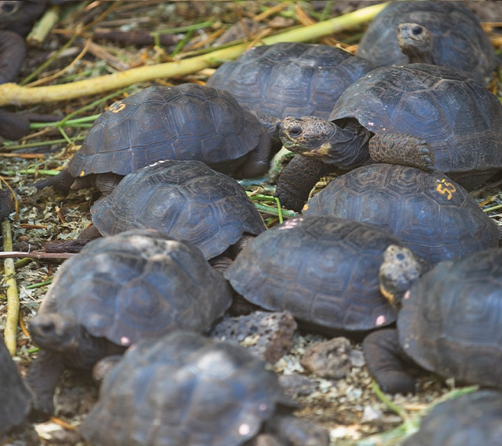 A creep of baby Galapagos Giant Tortoises being observed at the Charles Darwin Research Center to ensure conservation