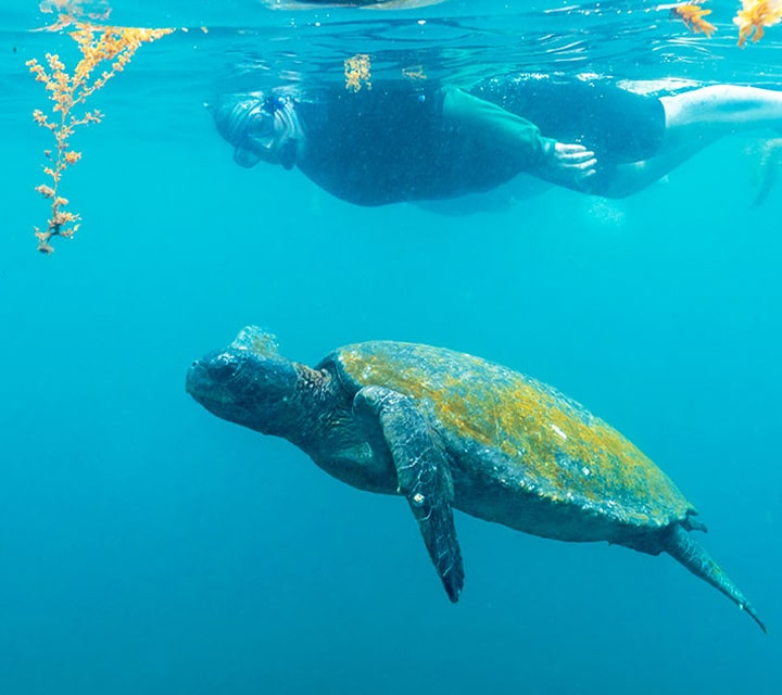 Snorkeling swimming right next to a Green Sea Turtle in the Galapagos Islands