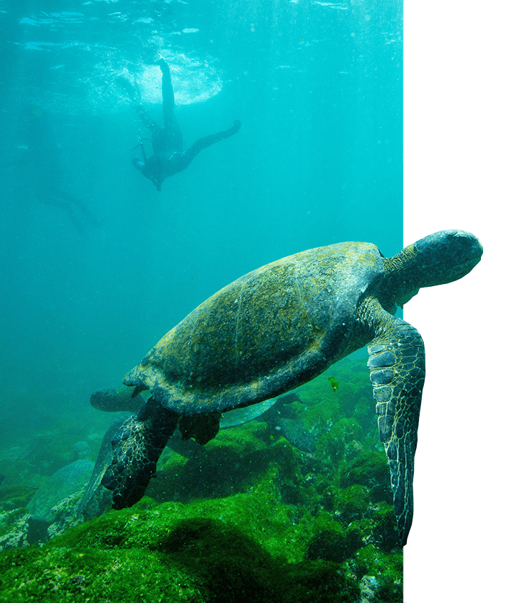 Green Sea Turtles in the shallow mossy seabed with snorkelers around in the Galapagos ocean water