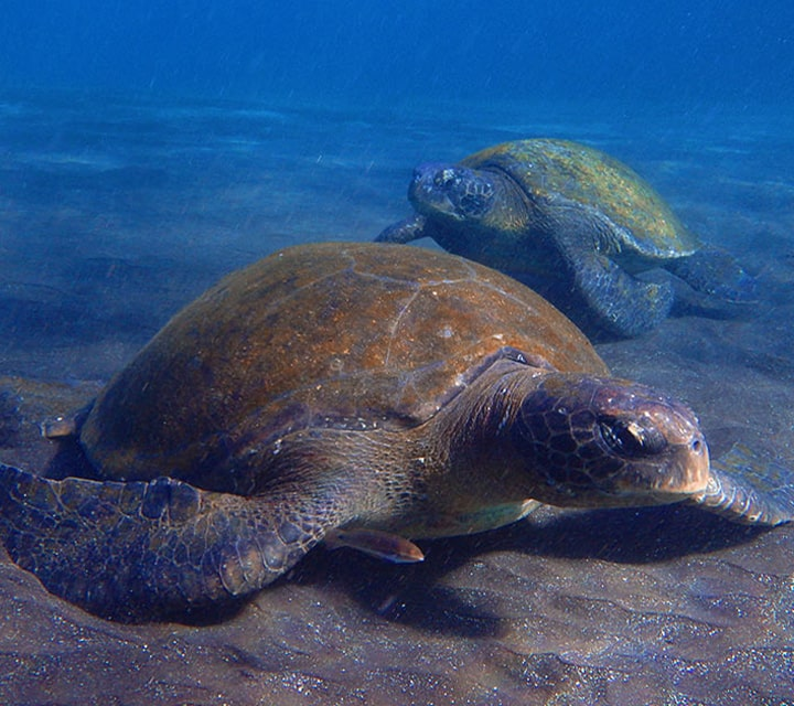 A pair of Green Sea Turtle resting underweather during the mating season in the month of December, Galapagos Islands