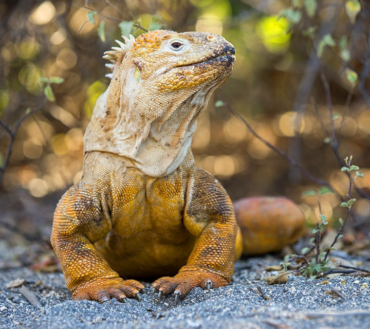 A land iguana standing still, ready for matin season in the Galapagos