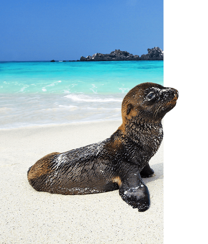 Galapagos Sea Lion pup on a white sand beach in the Galapagos Islands