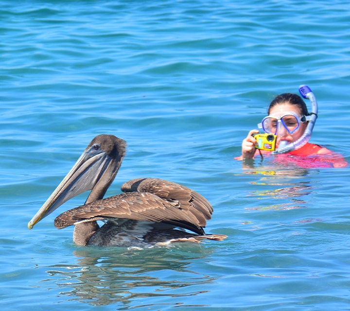 Snorkeler above the surface of the warm ocean water in the Galapagos Islands taking photos of a Brown Pelican