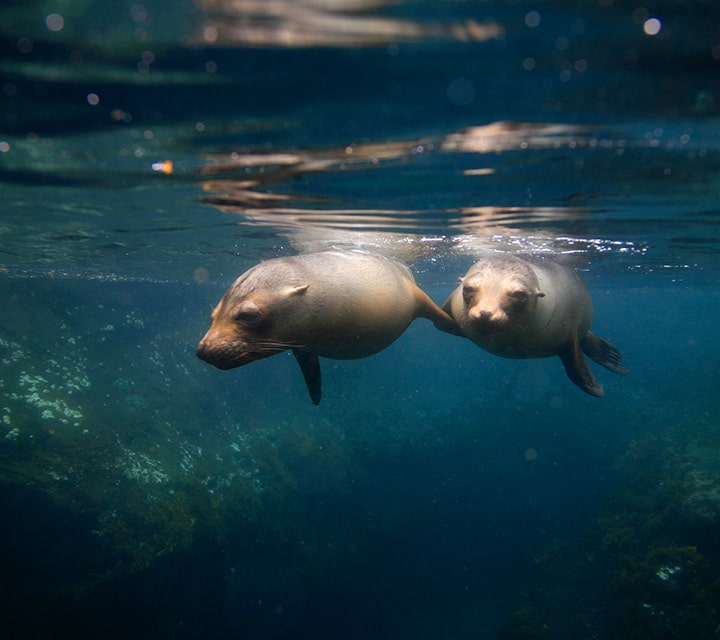 A pair of Galapagos Sea Lions on the surface level of the warm ocean current in the Galapagos Islands