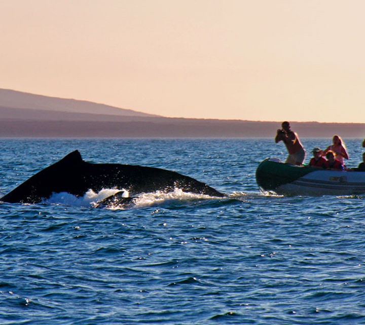 Explorers on a dinghy in the Galapagos Islands taking photos of whale and calf on the surface of the Pacific Ocean
