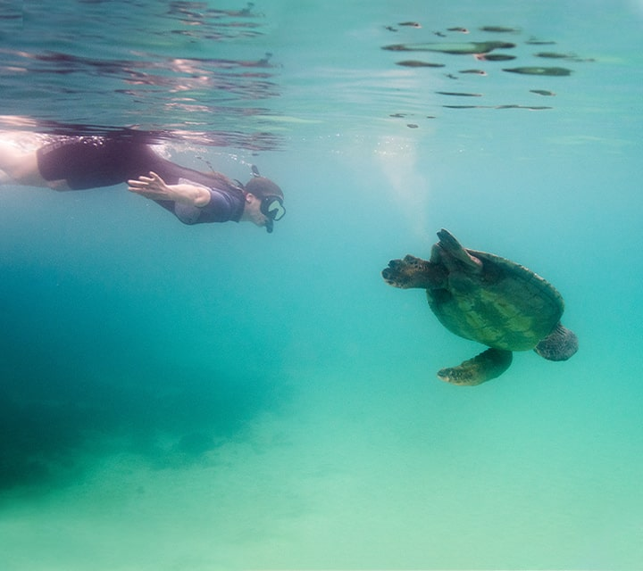 Snorkeler swimming with Green Sea Turtle in the clear Galapagos ocean water
