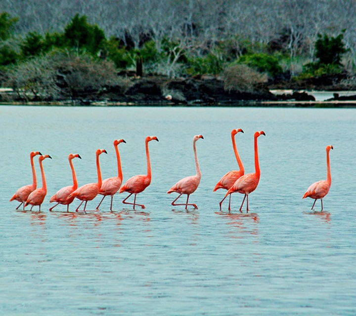 A pat of Flamingos walking together in the Galapagos Islands