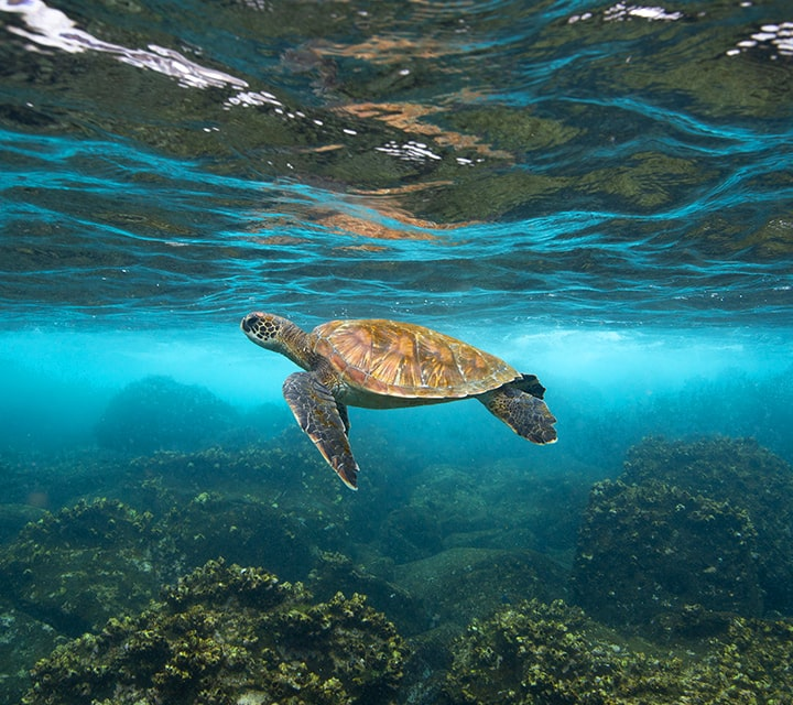 A graceful adult Green Sea Turtle in high visibility underwater in the Galapagos
