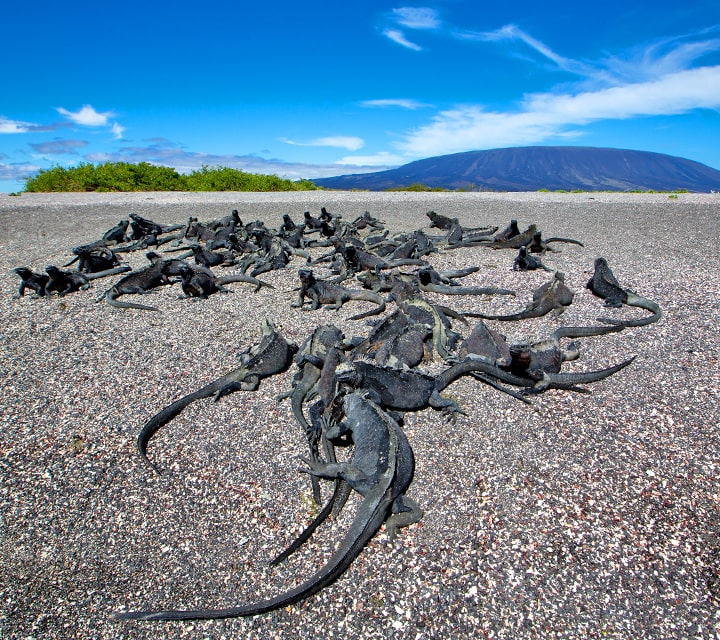 A mess of iguanas sun bathing on a black sand beach in the Galapagos Islands