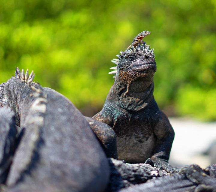 Lava lizard sits atop Marine Iguana's head, unique wildlife encounters