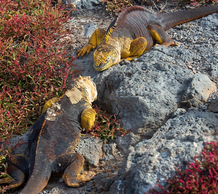 Galapagos Land Iguanas fighting for superiority over female mating season