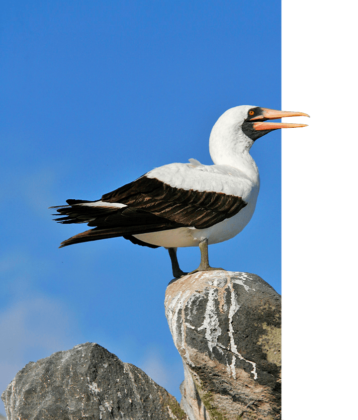 Nazca Booby, perched on a pillar shrouded in blue sky, Galapagos Islands
