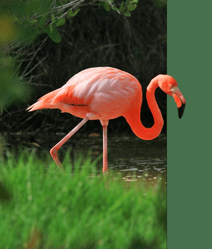 Bright pink flamingo in the Galapagos Islands, nicknamed Rosy Galapagos