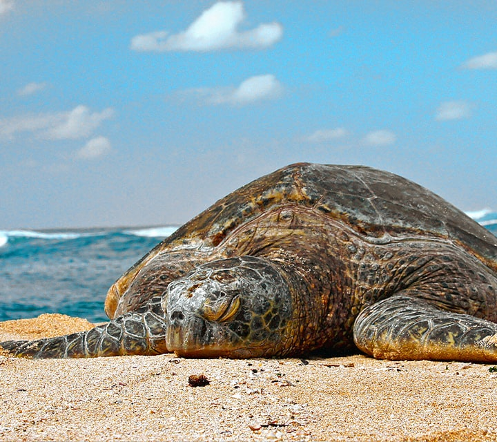 An exhausted and sleepy green sea turtle after nesting in the Galapagos Islands