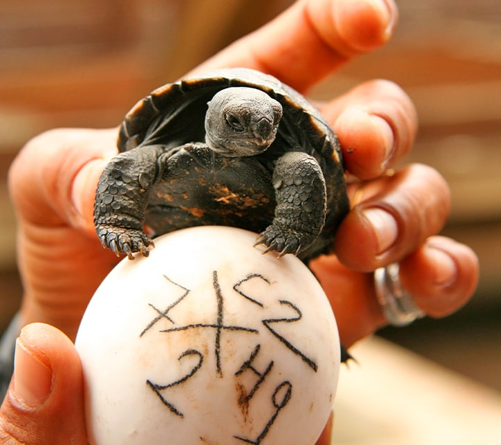 A baby Galapagos Giant Tortoise being compared to an unhatched egg at Charles Darwin Research Station, Galapagos Islands