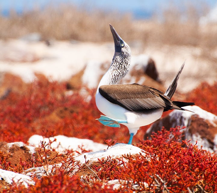 Blue-footed Booby doing its mating dance