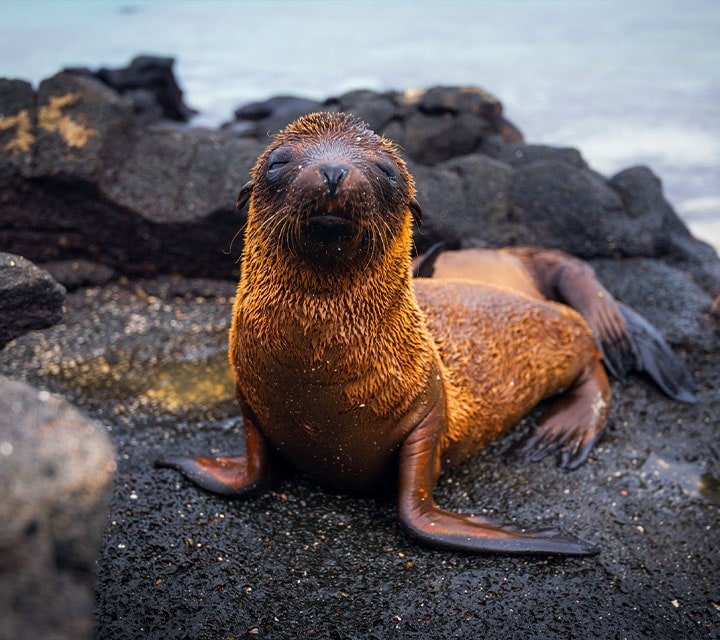 A Galapagos Sea Lion pup drying off