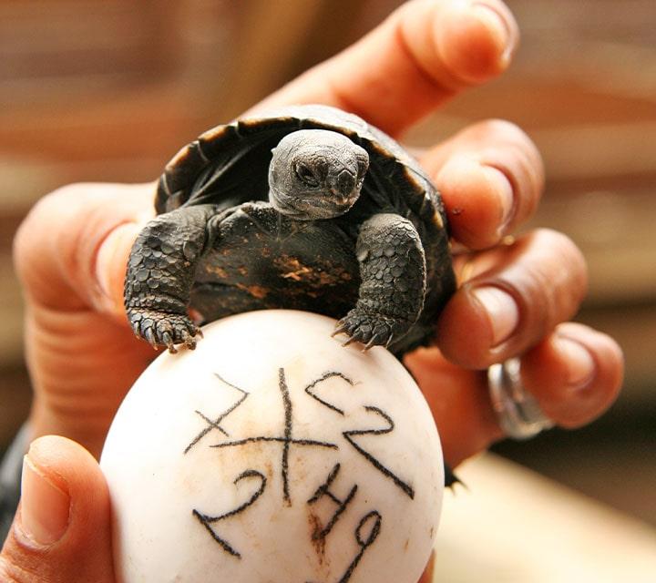 Baby Giant Tortoise and egg