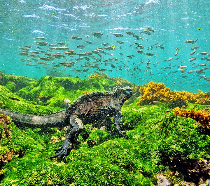 Marine Iguana diving and eating algae during the Humboldt Current in the Galapagos