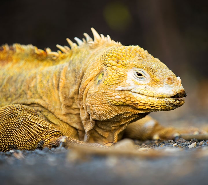 Perfect close up view of a Land Iguana in the Galapagos Islands