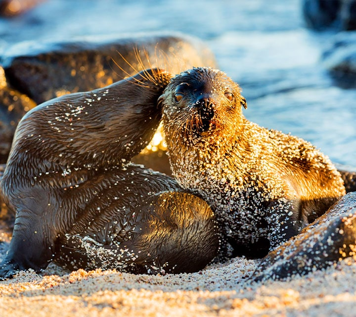Sea Lion pups covered in beach sand, Galapagos Islands