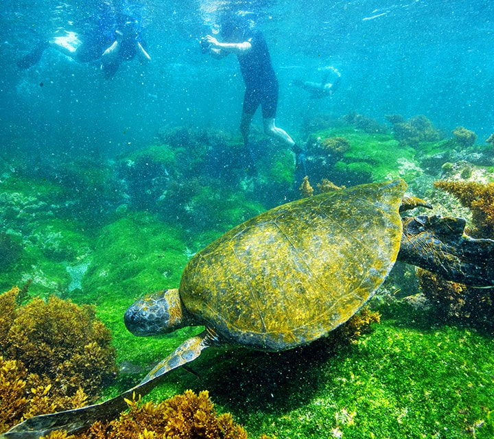 A small group of snorkelers swimming with a Galapagos Green Sea turtle