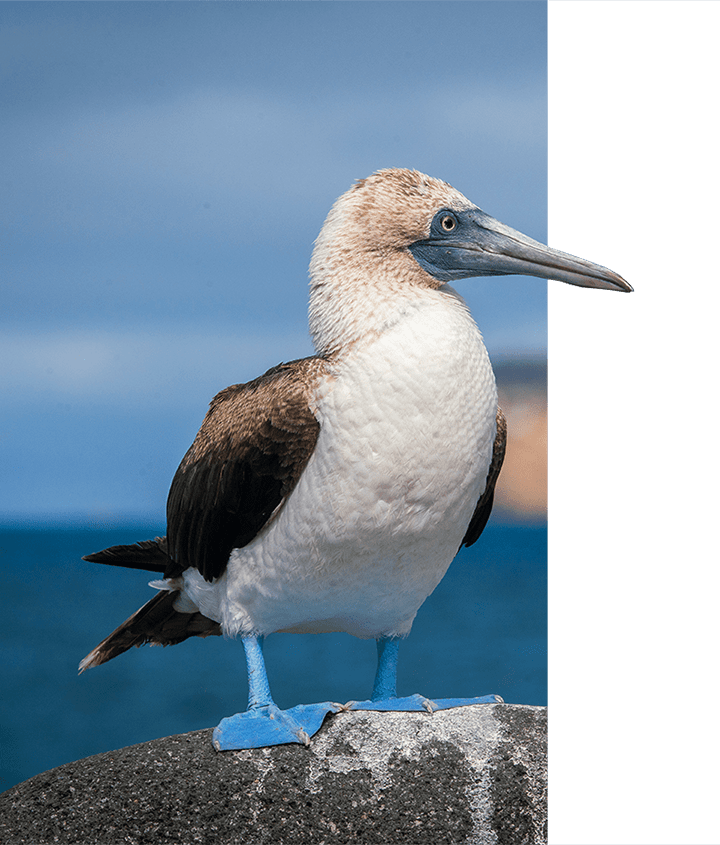 Upclose photo of a Blue-footed Booby on a rock in the Galapagos Islands