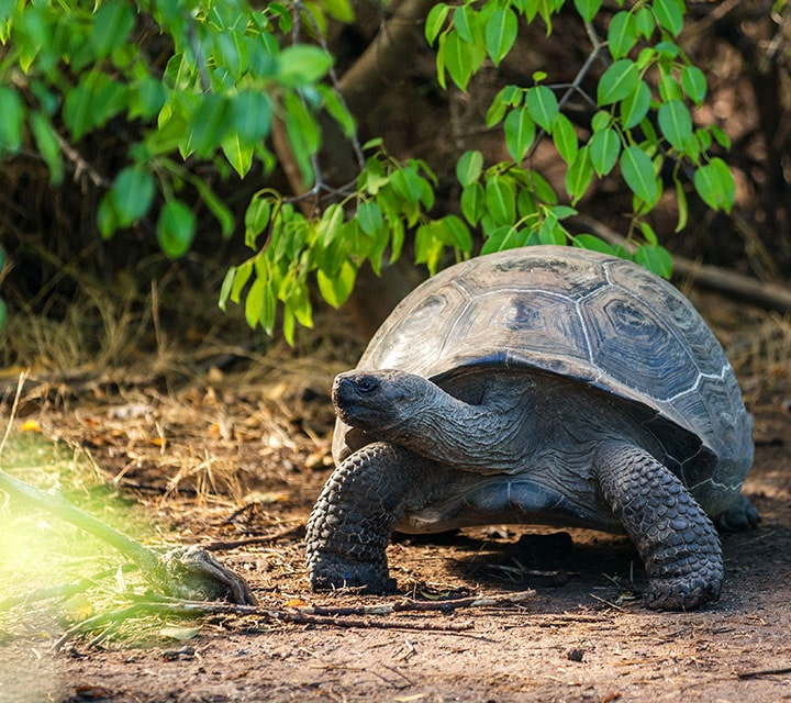 A young Galapagos Giant Tortoise amongst the Galapagos shrubs