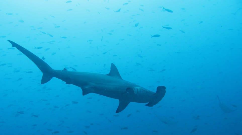 Galapagos ScallopedHammerhead Shark
