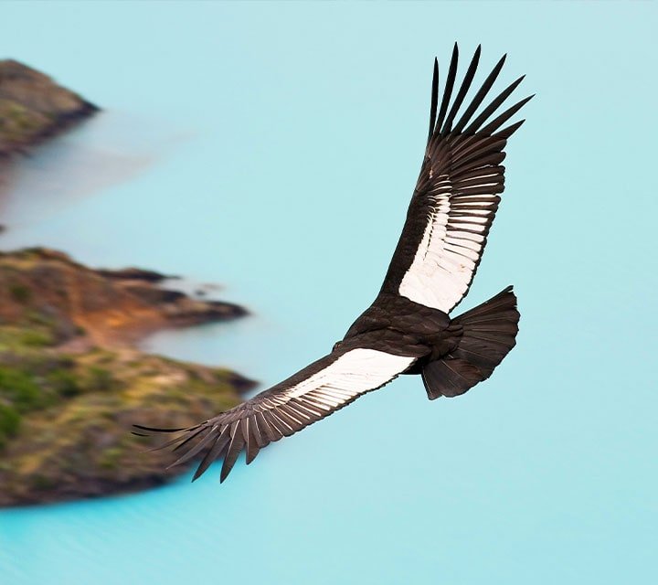 Andes Condor Bird Flying over Patagonia