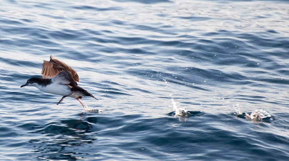 Audubon's Shearwater seizing items on the ocean surface in the Galapagos Islands