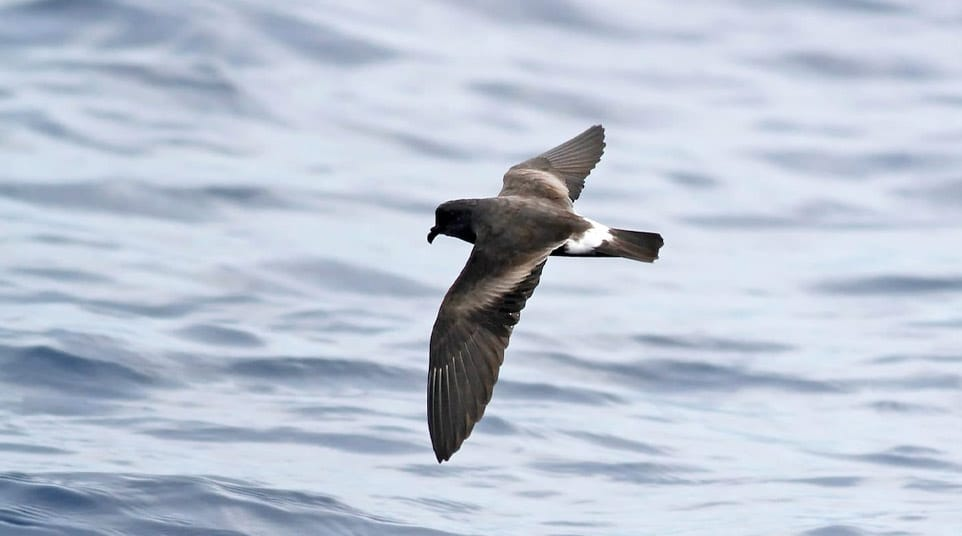 Band-rumped Storm-petrel flying over the ocean in the Galapagos Islands