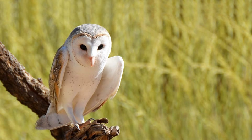 World's smallest species of barn owls sitting on a branch in the Galapagos Islands