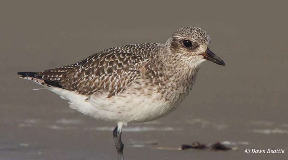 Up-close with a Grey Plover