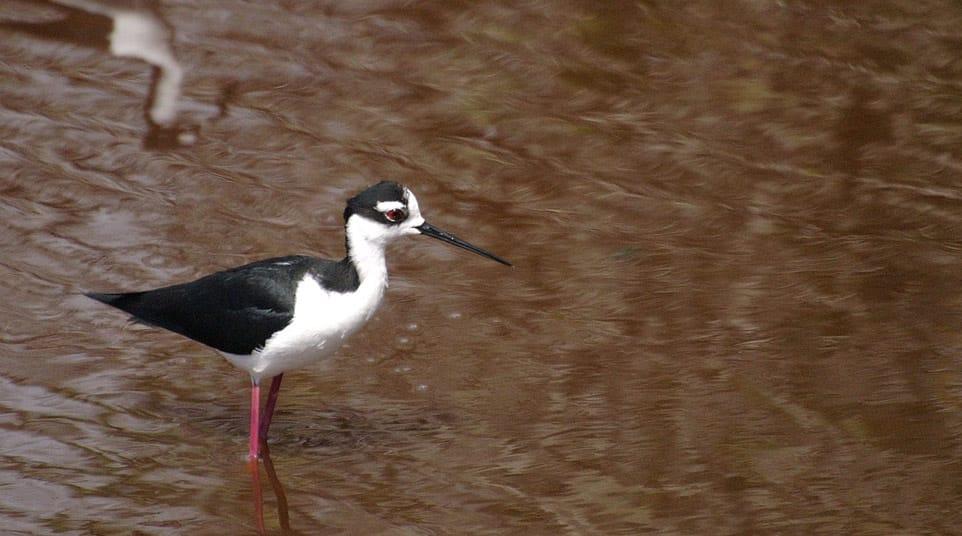 Elegant shorebird, Black-necked Stilt with long, bright pink legs on the Galapagos Islands wetlands