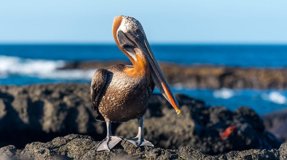 Huge Brown Pelican standing on the rocky shoreline of the Galapagos Islands