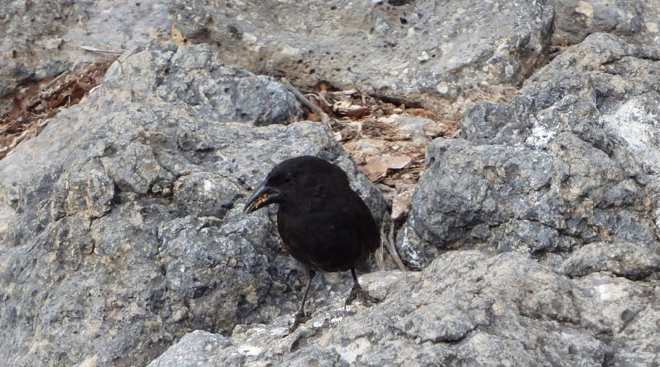 Small land bird, Galapagos Cactus Finch, standing on a rocky landscape