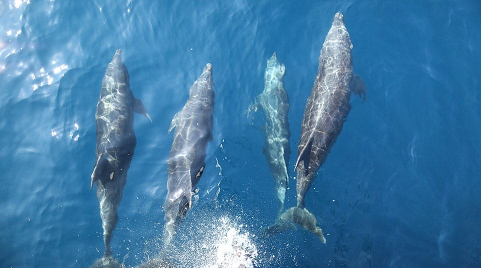 Galapagos Common Dolphins playfully riding the bow waves of Quasar's yacht